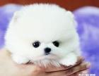 高品质博美犬出售中 终身质保 质量三包 可签协