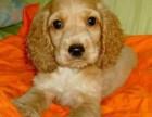 出售纯种宠物狗纯种英国 美国大耳朵可卡犬幼犬 活