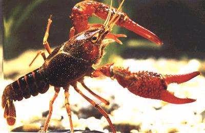 为什么养殖小龙虾种苗会浮头