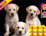买纯种拉布拉多犬——保纯保健康签协议——送狗上门