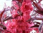 景观绿化首选红叶碧桃 超低价供应红叶碧桃苗