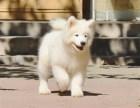 本地出售纯种(萨摩耶)幼犬出售 熊版大毛量