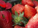 唐山草莓苗厂商 质优价廉