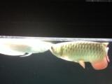 35公分金底金龙鱼