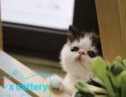 cfa注册家庭式猫舍宠物级小加菲 6只出售