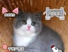 自家猫舍纯种英国短毛猫蓝白胖子包子脸蓝白猫