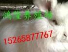 纯种安哥拉长毛兔 长毛兔价格 珍珠长毛兔 巨型安哥拉兔 产量
