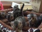 自家美短猫生宝宝了 公母都有 绝对纯种健康