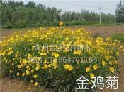 金鸡菊种植基地|价格公道的金鸡菊哪里有供应