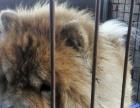 漂亮的松狮公狗借配