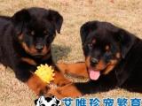 高品质罗威纳幼犬出售带出生纸保健康签协议正规犬舍出售可见种犬