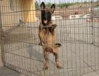 福州纯种马犬价格 福州哪里能买到纯种马犬