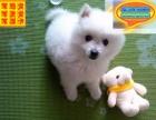 CKU联保权威认证犬业出售纯种健康银狐犬签订协