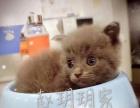纯种英国短毛猫俗称蓝猫