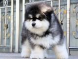 洛阳阿拉斯加出售 洛阳巨型阿拉斯加多少钱 黑色阿拉斯加幼犬