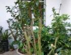 大茶花树,茶花