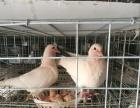 新乡鸽子 养鸽加盟致富 包技术 包回收