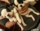 重庆狗狗之家长期出售高品质 斗牛 售后无忧