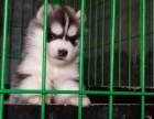 出售自家繁育的纯种健康哈士奇幼犬,包健康纯种养活!