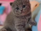 廣州藍貓價格多少 廣州哪里買藍貓好 藍貓好不好養