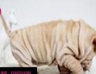 阿翔犬舍出售高品质沙皮狗幼犬 血统纯正 体型完美 健康纯种