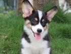 优良品质自家犬场繁殖柯基包纯种健康可以上门挑选签协议