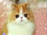 〖波斯猫〗纯种健康波斯猫出售出售可爱波斯猫带血统