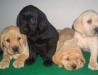 昆明哪有拉布拉多犬卖 昆明拉布拉多犬价格 拉布拉多犬多少钱