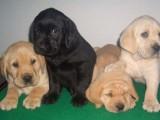 惠州养殖基地直销拉布拉多犬及其它幼犬 签协议 送用品