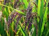 洋县大米 洋县绿色大米 洋县有机米
