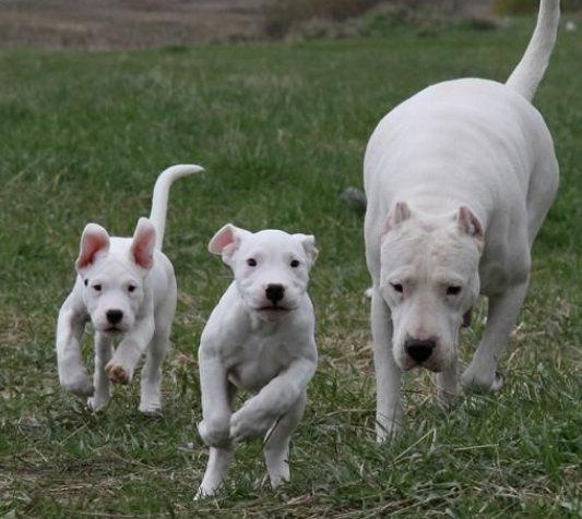纯种杜高 品相一流 包健康 可签协议 上门看狗