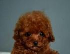 本地自家繁殖一窝纯种可爱的泰迪熊幼犬,多只挑选