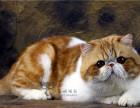 冰城猫苑 赛级,繁育级加菲