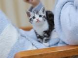 純種美短幼貓起司加白美國短毛貓矮腳活體