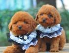 上门700一只 泰迪幼犬 包健康 包纯种 有多条狗狗挑选