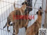 镇江哪里有卖纯种苏联红犬幼犬的 小苏联红犬训练视频