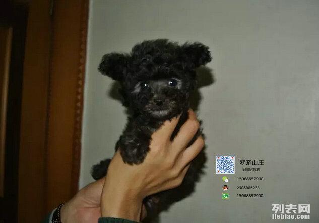 可爱健康 泰迪熊幼犬出售 高品质 健康包一个月