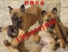 出售马犬 马犬幼崽杜高犬 莱州红 格力犬价格低包纯种