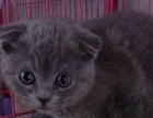 千之宠猫舍英短小猫出售啦 每个都非常漂亮
