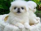 犬舍诚信直销 京巴幼犬 健康纯种 支持上门可送货 无中介!