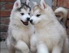 哈士奇雪橇犬纯种家养繁殖哈士奇犬出售精品家养活体宠物狗