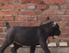 上门大优惠-家养的卡斯罗幼犬高大威猛四肢粗壮品相好