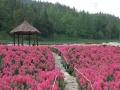 上洋村的三峡奇潭—花海美翻了,让我们偶遇映山红农家