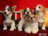 两色三色柯基,英国女王犬高端,纯种健康柯基多少钱