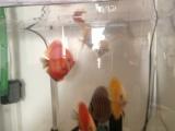 自养包状态七彩神仙鱼三条出售