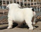 自家大狗生了一窝英国斗牛犬可以上门看狗父母