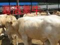 鹰潭肉牛犊价格多少钱一头西门塔尔牛鲁西黄牛夏洛莱牛