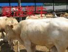 永州肉牛犊价格多少钱一头西门塔尔牛鲁西黄牛夏洛莱牛