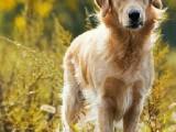 看狗加/全国连锁宠物狗狗店/犬舍品种齐全送货上门/可托运