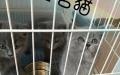 呼市斗鱼名猫 专业繁殖英国短毛猫 只做高端!